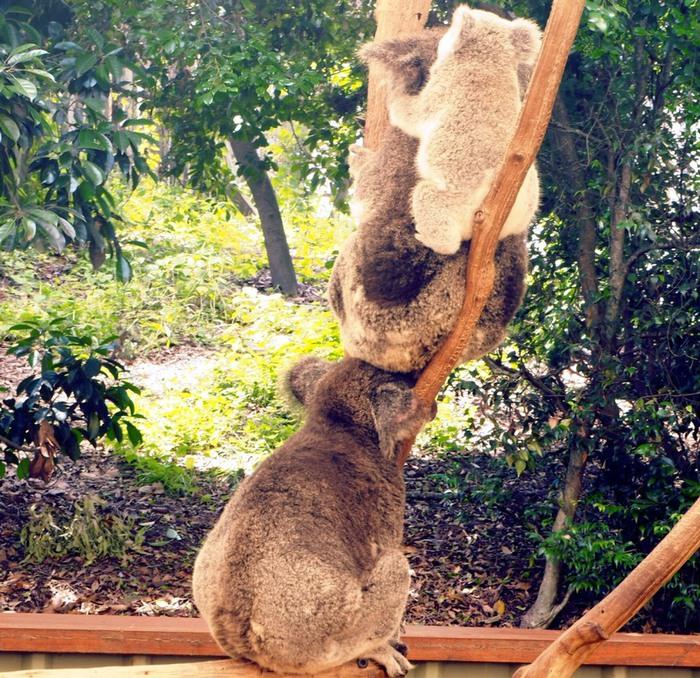 コアラの親子が三匹木の上でのんびりと仲良し。