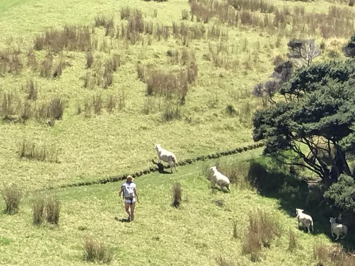 羊だらけのニュージーランドの平原